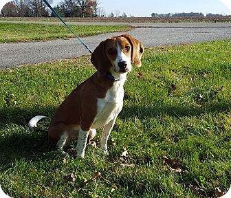 Beagle Mix Dog for adoption in Franklin, Indiana - Tanner