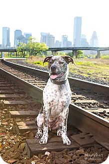 German Shorthaired Pointer/American Bulldog Mix Dog for adoption in Vancouver, British Columbia - Double