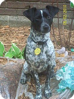 Pointer/Rat Terrier Mix Puppy for adoption in Buffalo, New York - Luka