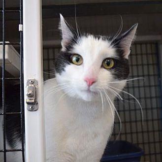 Domestic Shorthair Cat for adoption in Denver, Colorado - Snowball