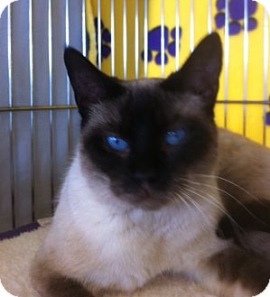 Siamese Cat for adoption in Sacramento, California - Mocha L
