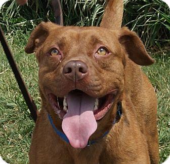 Pit Bull Terrier Mix Dog for adoption in Monroe, Michigan - Garcia
