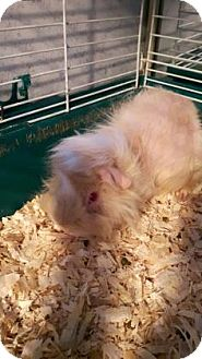 Guinea Pig for adoption in Simcoe, Ontario - Ginglit