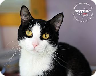 Domestic Shorthair Cat for adoption in Lyons, New York - Bruno