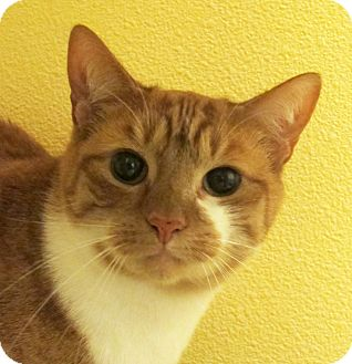 Domestic Shorthair Cat for adoption in Eastsound, Washington - Buttercup