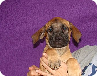 Boxer/Labrador Retriever Mix Puppy for adoption in Oviedo, Florida - Verona