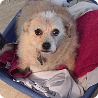Terrier (Unknown Type, Medium)/Chihuahua Mix Dog for adoption in Dana Point, California - Sugar