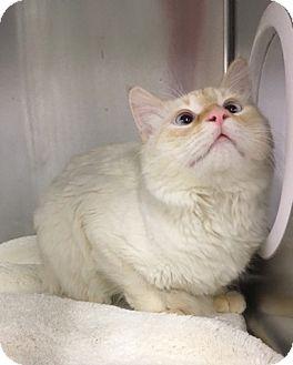 Siamese Cat for adoption in Las Vegas, Nevada - Jeffrey