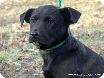 Labrador Retriever/Border Collie Mix Puppy for adoption in parissipany, New Jersey - SABRINA/ADOPTED