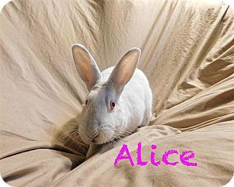 Florida White for adoption in Elizabethtown, Kentucky - Alice