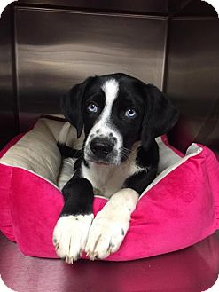 Australian Shepherd Mix Dog for adoption in Grayson, Kentucky - Maylee