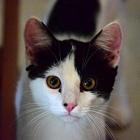Adopt A Pet :: Lyell - Palo Cedro, CA
