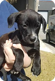 Retriever (Unknown Type) Mix Puppy for adoption in Gainesville, Florida - Blue Moon