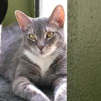 Domestic Shorthair/Domestic Shorthair Mix Cat for adoption in Mission Hills, California - Tinker