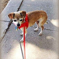 Chihuahua Mix Dog for adoption in Tijeras, New Mexico - Taffy