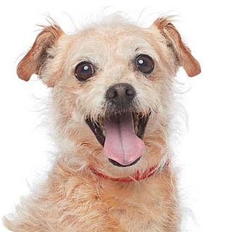 Terrier (Unknown Type, Small) Mix Dog for adoption in Los Angeles, California - Owen Wilson