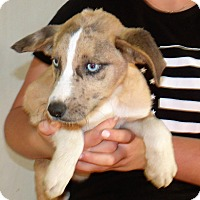 Adopt A Pet :: AUSSIE CAT PUPS D - Corona, CA