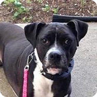 Boxer Mix Dog for adoption in Denver, Colorado - Diamond