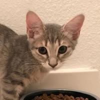 Adopt A Pet :: Merci TG - Schertz, TX