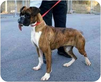 Boxer Dog for adoption in W. Columbia, South Carolina - Holly