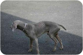 Weimaraner Dog for adoption in Attica, New York - Guy