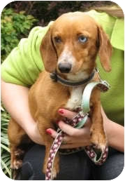 Dachshund Dog for adoption in Jacobus, Pennsylvania - Reagan - TN