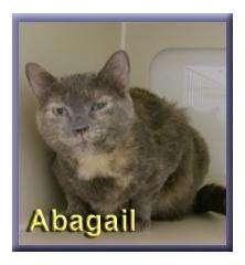 Domestic Shorthair Cat for adoption in Aldie, Virginia - Abagail