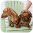 Photo 2 - Dachshund Dog for adoption in Boynton Beach, Florida - Fifi