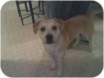 Labrador Retriever Mix Dog for adoption in Windham, New Hampshire - Sammy