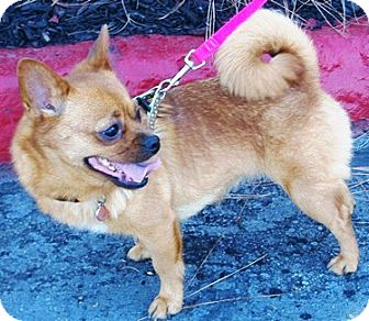 Pug/Chihuahua Mix Dog for adoption in Castro Valley, California - Franny
