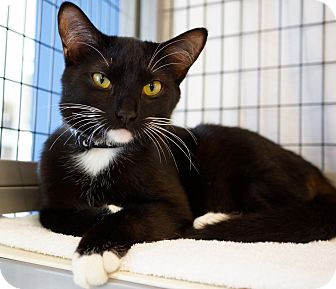 Domestic Shorthair Cat for adoption in Houston, Texas - Tristan