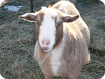 Goat for adoption in Liberty Center, Ohio - Charlie