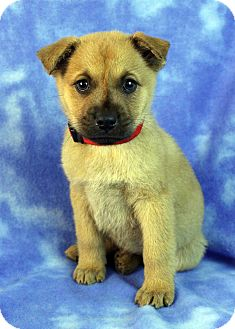 Golden Retriever/Shepherd (Unknown Type) Mix Puppy for adoption in Westminster, Colorado - Carina