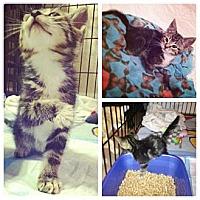 Adopt A Pet :: Sundae - Sunrise, FL