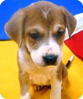 Labrador Retriever/St. Bernard Mix Puppy for adoption in Bartonsville, Pennsylvania - Lacey