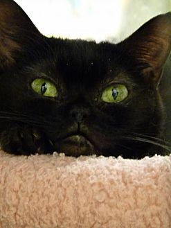 Domestic Shorthair Cat for adoption in Capshaw, Alabama - Minnie