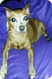 Miniature Pinscher Dog for adoption in Holland, Ohio - Annabelle