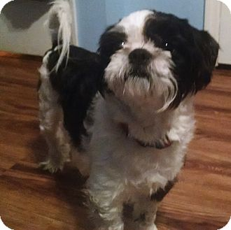Shih Tzu Dog for adoption in Ooltewah, Tennessee - Parker