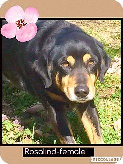Rottweiler/Shepherd (Unknown Type) Mix Dog for adoption in Beacon, New York - Rosalind