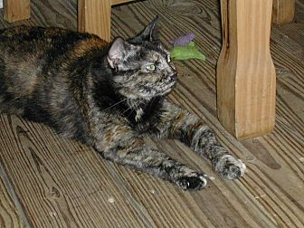 American Shorthair Cat for adoption in Naples, Florida - Trixie