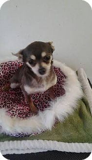 Chihuahua Dog for adoption in Mount Royal, New Jersey - Magoo
