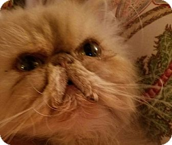 Persian Cat for adoption in Columbus, Ohio - Murphy