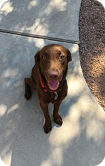 Labrador Retriever Dog for adoption in Phoenix, Arizona - Gentry