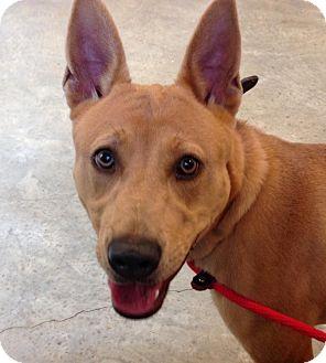 Carolina Dog/Husky Mix Dog for adoption in Olive Branch, Mississippi - Jinx