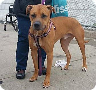 Rhodesian Ridgeback Mix Dog for adoption in Brooklyn, New York - LoMein