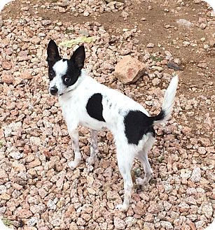 Rat Terrier Mix Dog for adoption in Phoenix, Arizona - Turley