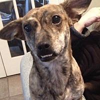 Dachshund Mix Dog for adoption in San Antonio, Texas - Taz