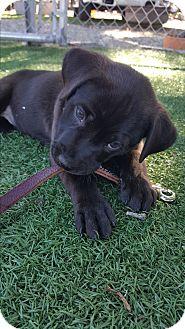 Labrador Retriever Mix Puppy for adoption in Morgan Hill, California - Puppies