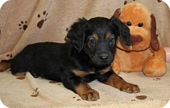 Black and Tan Coonhound Mix Puppy for adoption in Brattleboro, Vermont - Gloria