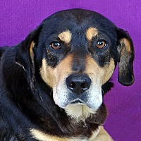 Basset Hound/Rottweiler Mix Dog for adoption in Renfrew, Pennsylvania - Norman
